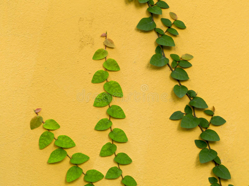 Color wall with green creeper royalty free stock image