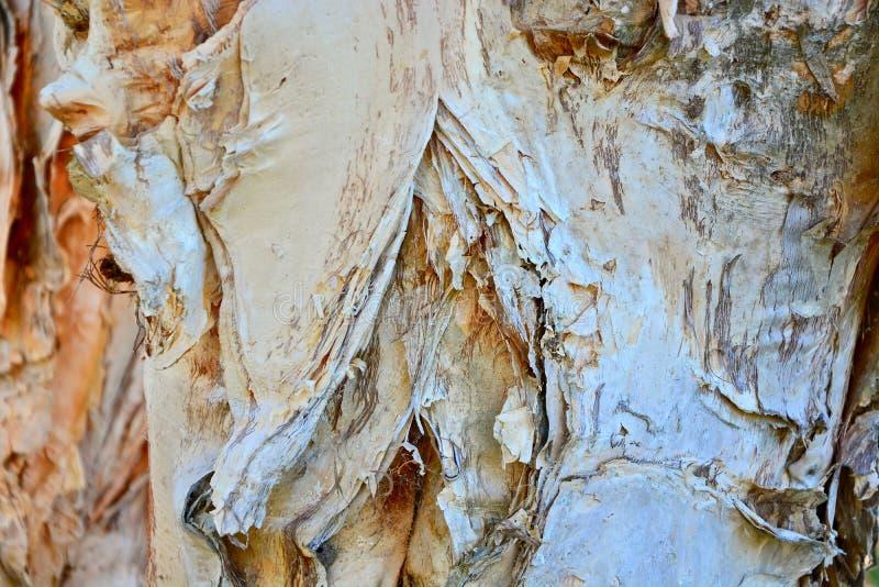 Color y textura ricos del fondo del árbol del paperbark foto de archivo libre de regalías