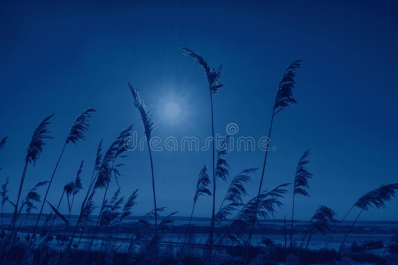 Color of the year 2020 classic blue. Winter landscape with dry frozen grass against snow covered plain, blue sky and sun at sunset. Beautiful natural scenery royalty free stock photos