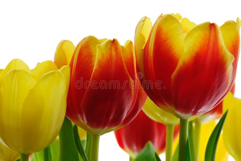 color yellow för tulpan för den röda fjädern för blommafuschiaen stor arkivfoto