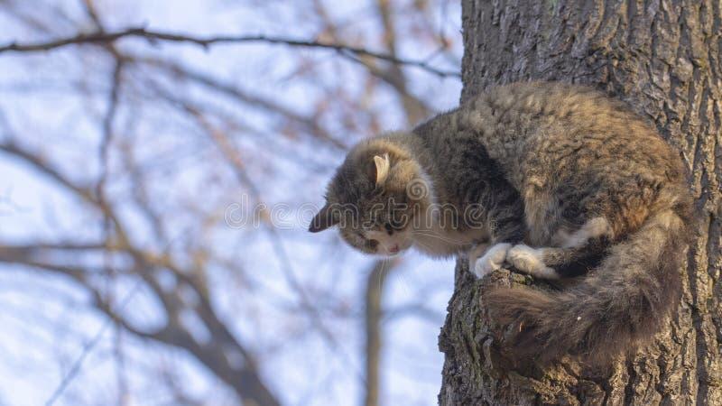 Colora??o dos sem abrigo do gato, a cinzenta e a branca com o cabelo longo que senta-se em um ramo de uma ?rvore velha foto de stock royalty free