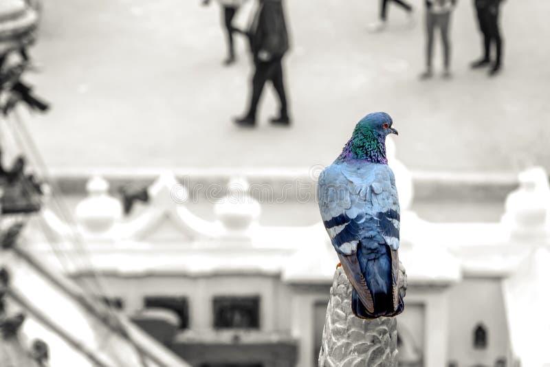 Colora emergente no pombo no fundo borrado com copyspace foto de stock royalty free