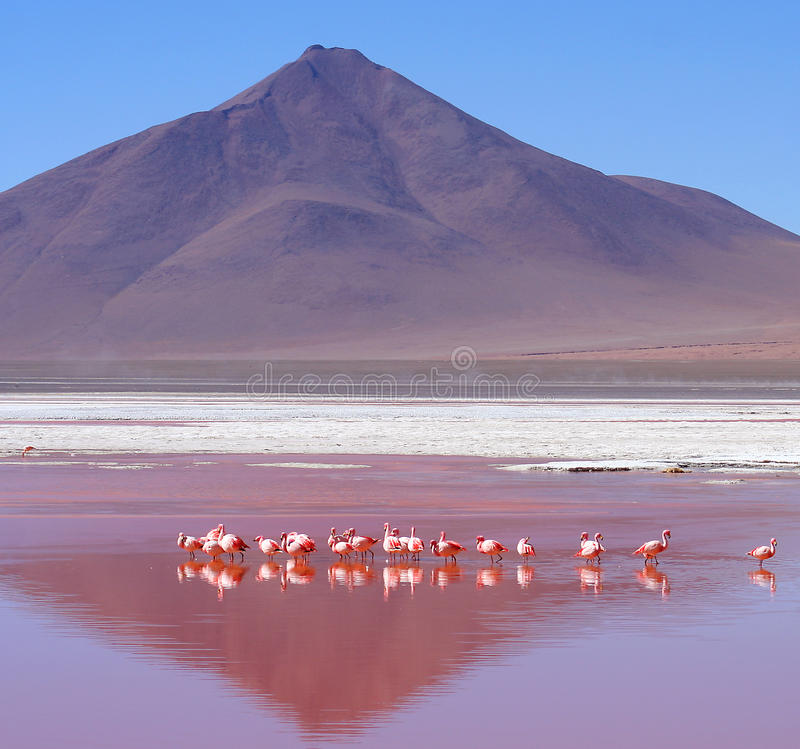 colorada flamingi Laguna obrazy stock