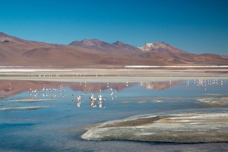 colorada flamingi Laguna zdjęcie royalty free