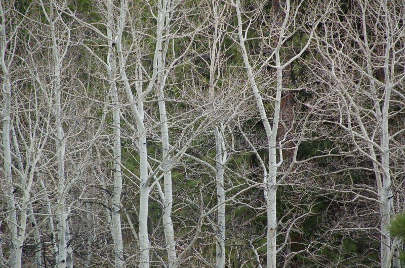 Colorado Ash Trees arkivfoton