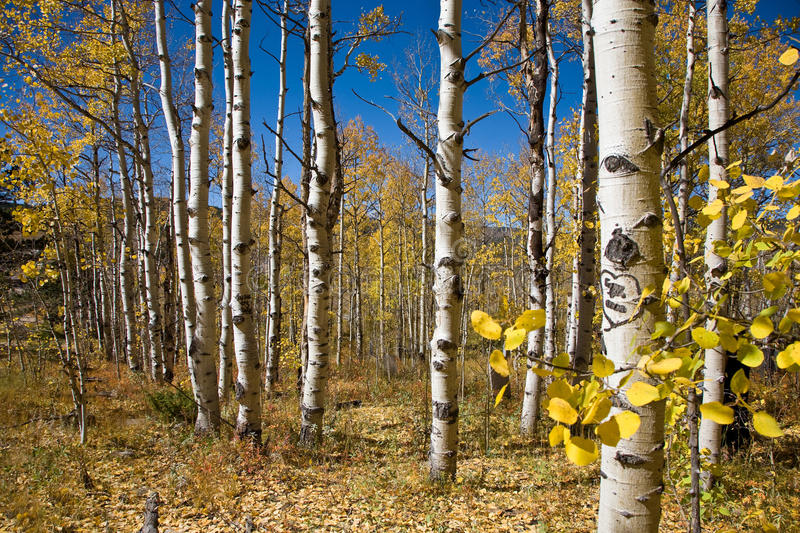 Download Colorado Aspen stock image. Image of gold, beautiful - 16224047