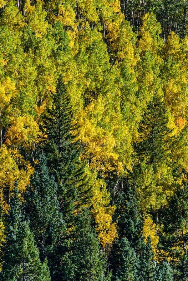 Colorado aspen autumn fall colors stock image