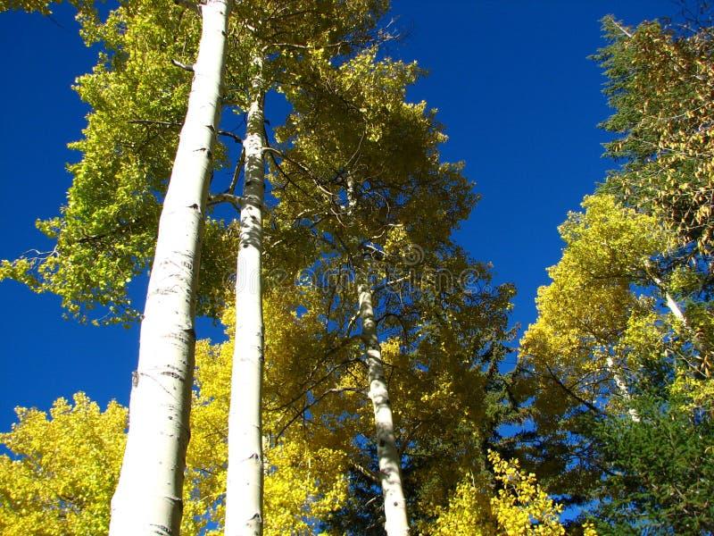 Colorado Aspen II immagini stock libere da diritti