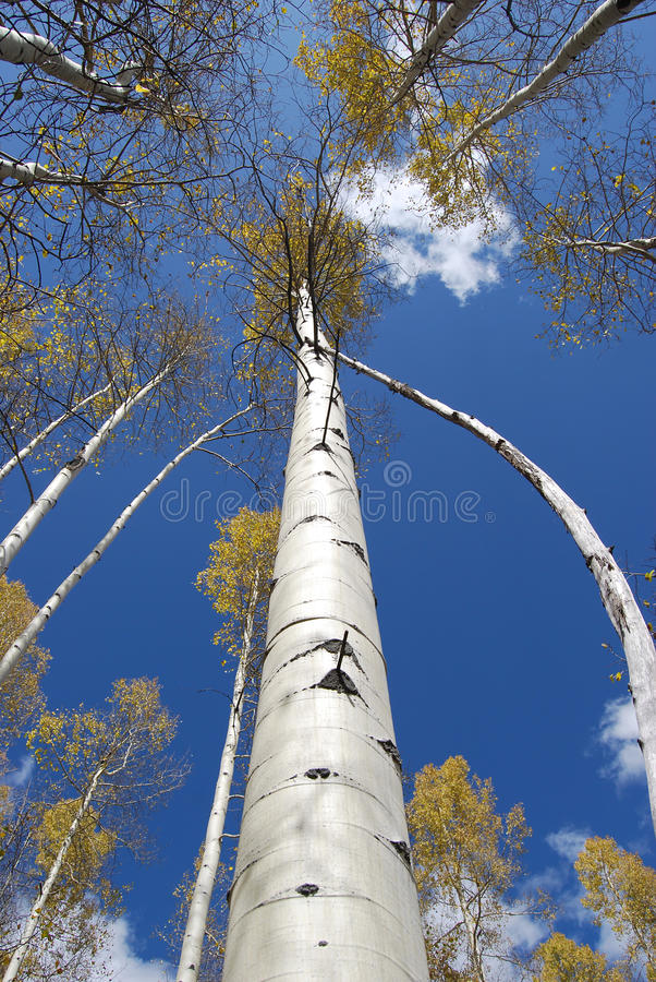 Colorado Aspens stock photos