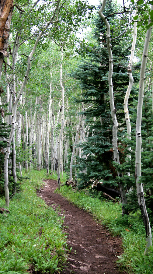 Colorado Aspens with a walking path stock images