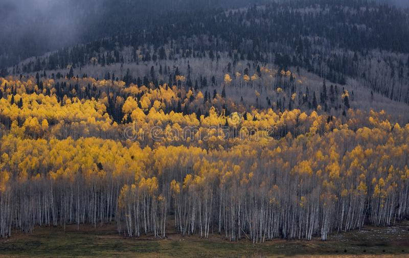 Colorado Autumn Aspens fotografia stock