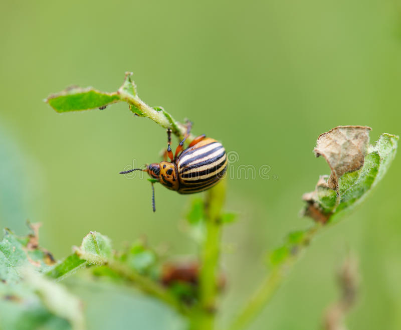 Download Colorado beetle stock image. Image of outdoors, choice - 26636085
