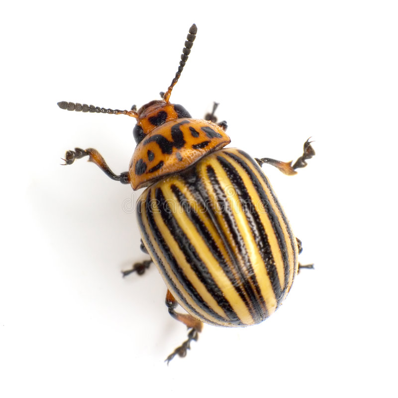 Colorado beetle. Photographed on a white background stock photos