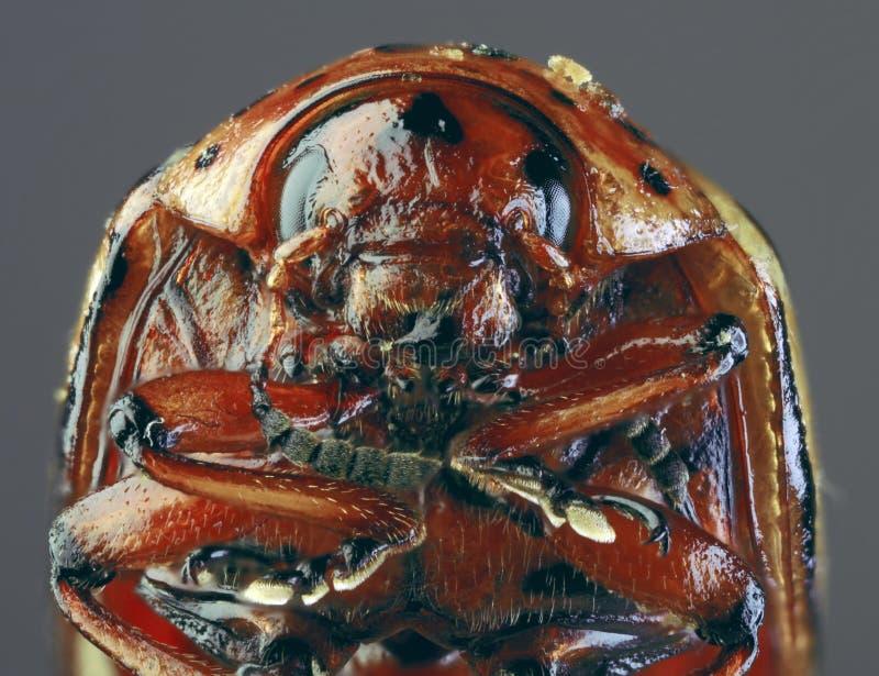 Colorado Beetle Macro `Cutout royalty free stock photo