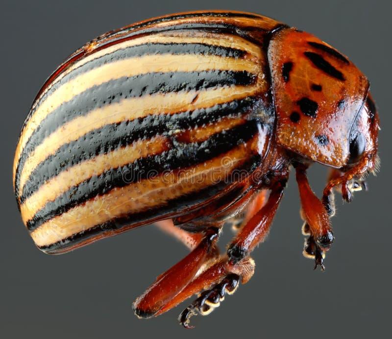 Colorado Beetle Macro Cutout stock photos