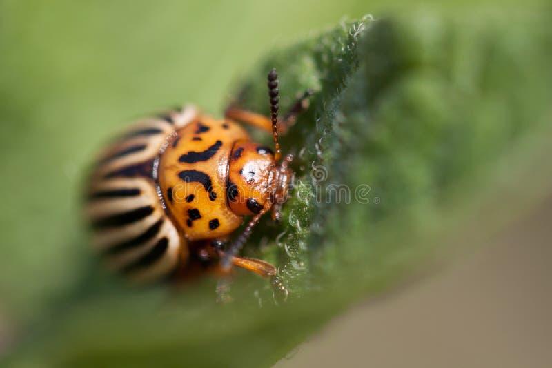 Colorado beetle stock photography