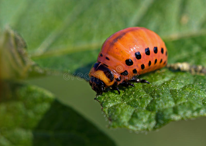 Download The  Colorado Beetles Larva Stock Image - Image: 25968633