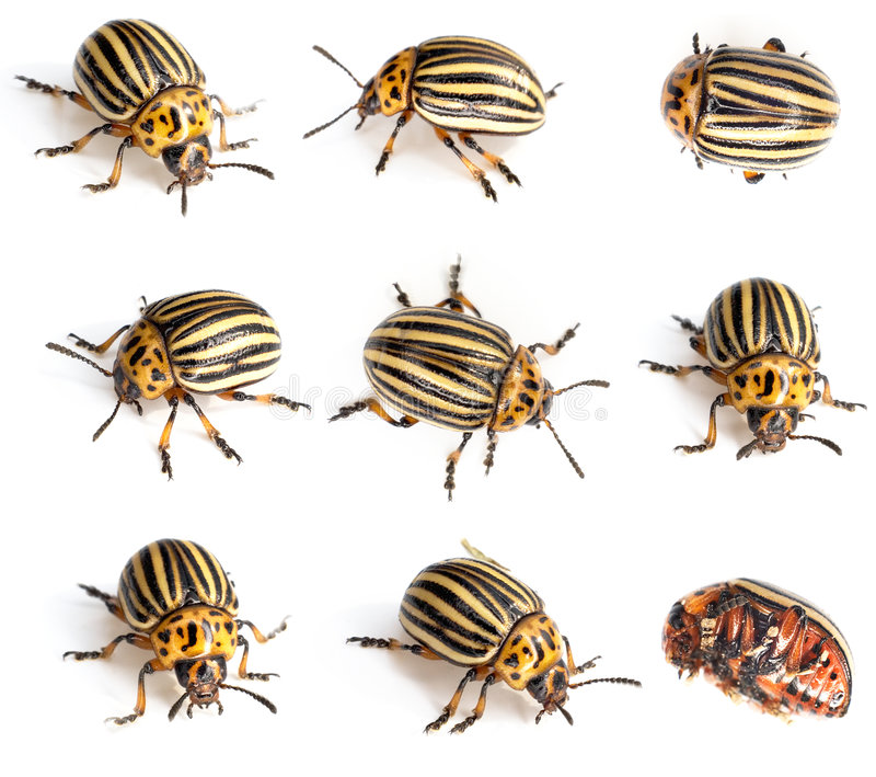 Colorado beetles. Photographed on a white background stock photography