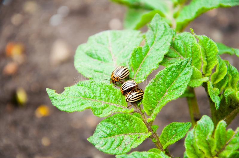 Colorado beetles are sitting on a bright green plant. stock photography