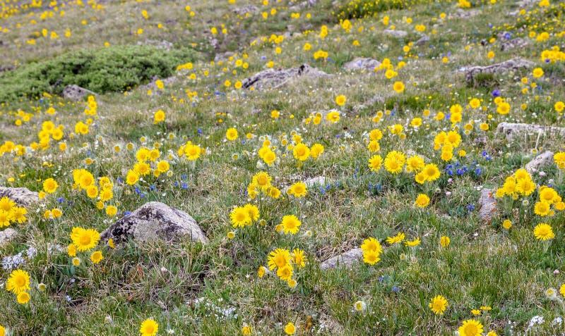 Colorado-Bergwildflowers stockfotografie