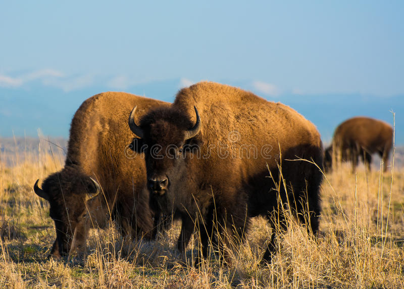 Colorado Bison. This is a picture of a some Colorado Bison seen at the Rocky Mountain Arsenal royalty free stock photography