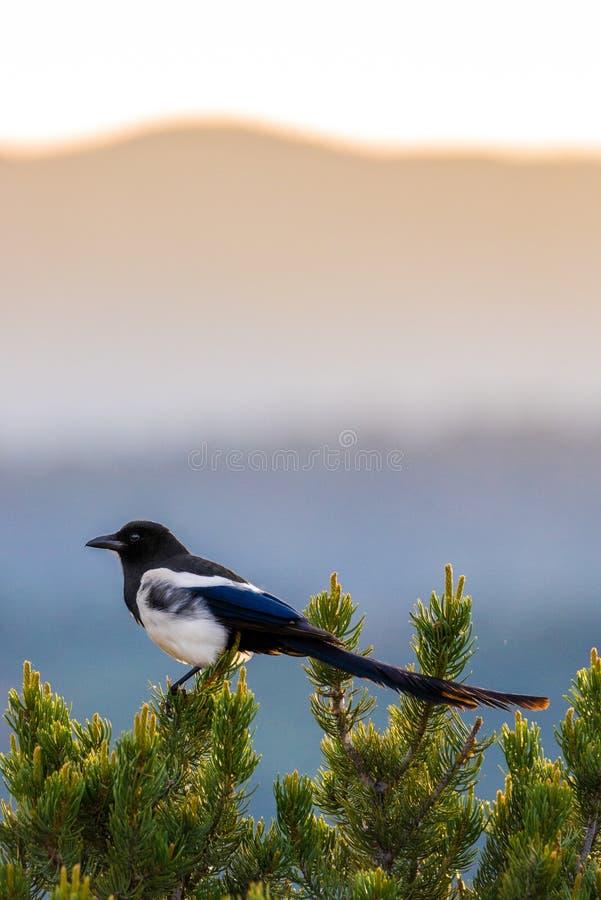 Colorado black billed magpie. A Colorado black billed magpie ( black-billed magpie ) perched on top of a pine tree against Colorado Rocky Mountains sunrise stock image