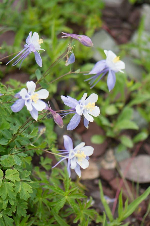 Colorado Blue Columbines Aquilegia caerulea growing near Aspen Colorado royalty free stock photos