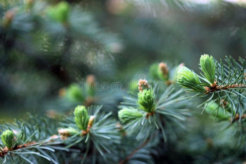 Colorado blue spruce royalty free stock photo