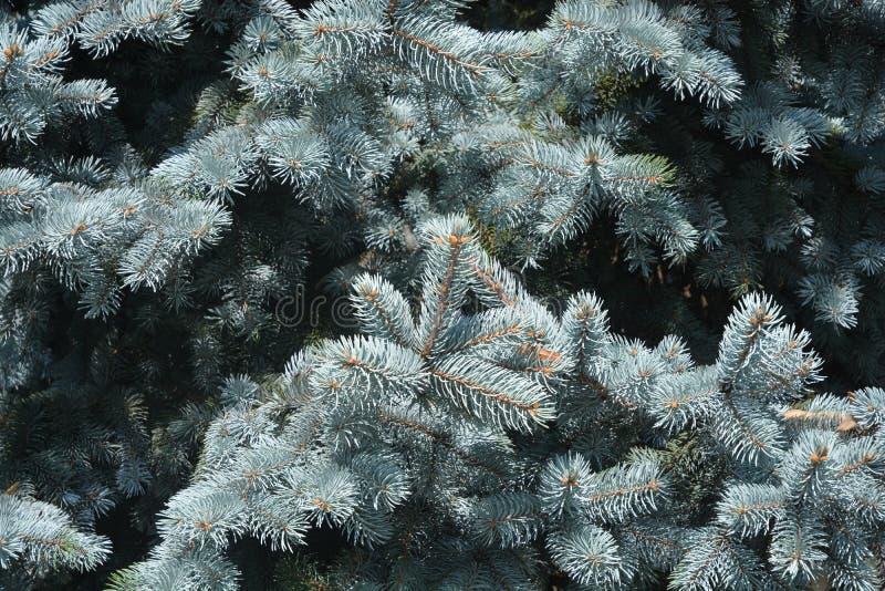 Colorado blue spruce arkivfoton