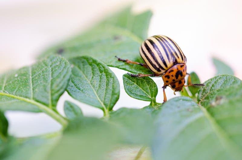 Colorado bug. Macro pest potatoes insect stock image