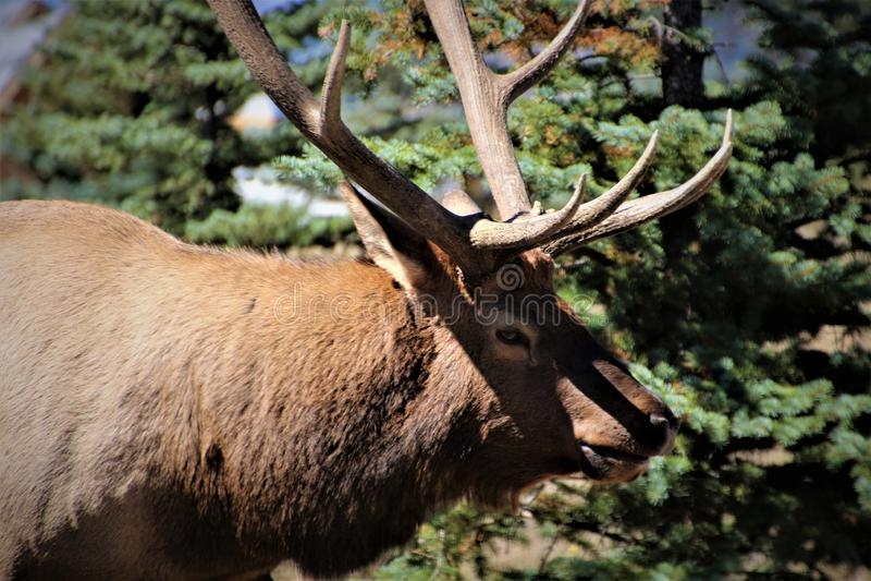 Colorado Bull Elk close up stock photos