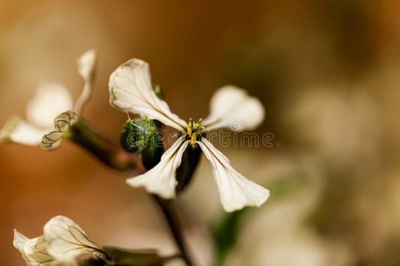 Colorado Clematis columbianus wild flower, white with a yellow center. Beautiful flower in macro image. stock photos