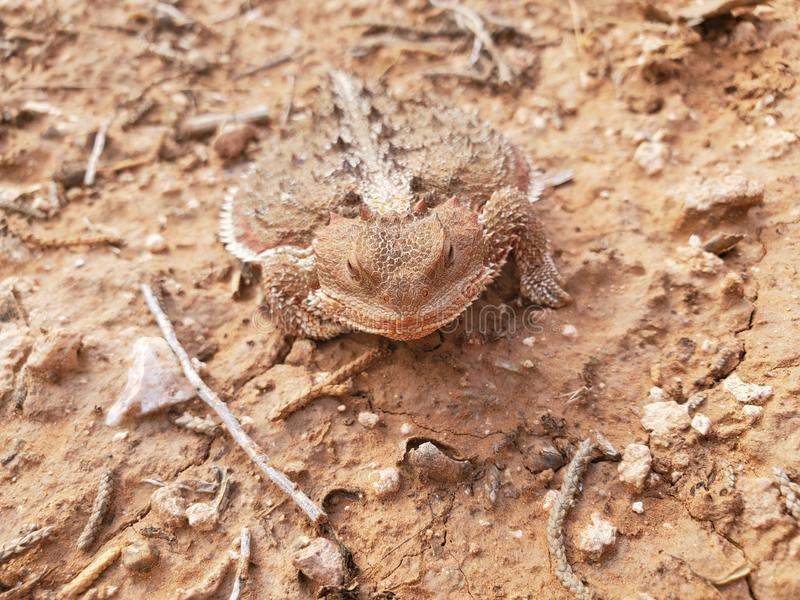 Horny toad is boss here Colorado. Is   colorado. colorado lizard  on a, reptile, nature stock photo