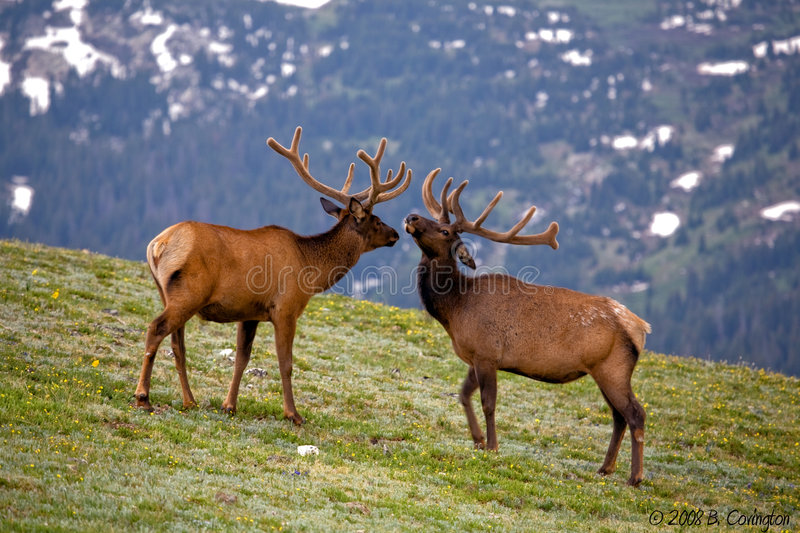 Colorado Elks stock images