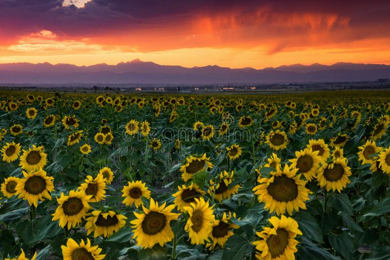 The Colorado Front Range Rockies At Sunset. The Colorado Front Range Rockies are seen at sunset as giant sunflowers cover the landscape outside of Denver royalty free stock photo