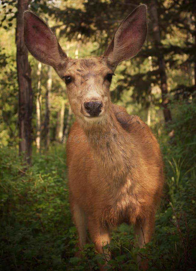 Colorado hjortar arkivbild