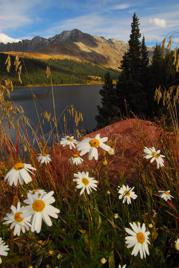 Download Colorado mountain daisies stock image. Image of wildflowers - 4233495