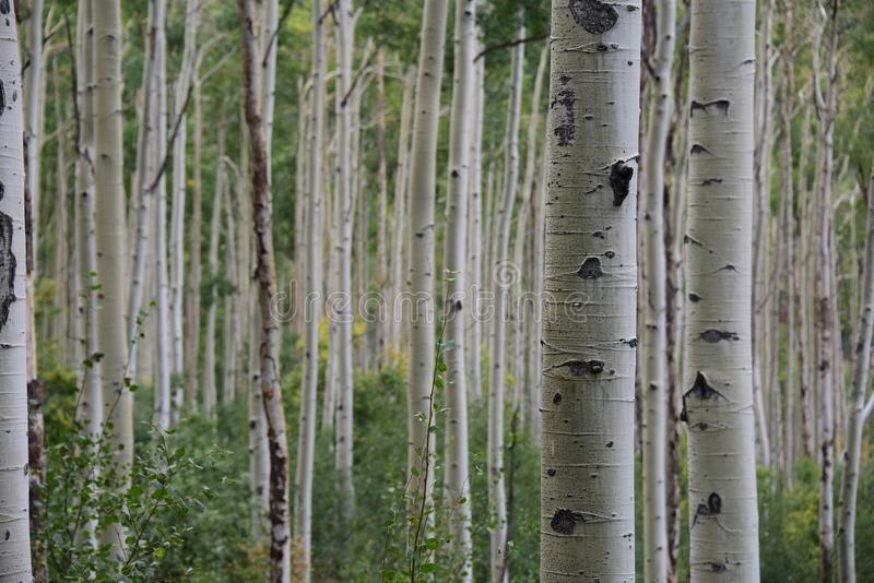 colorado osikowy las obrazy stock