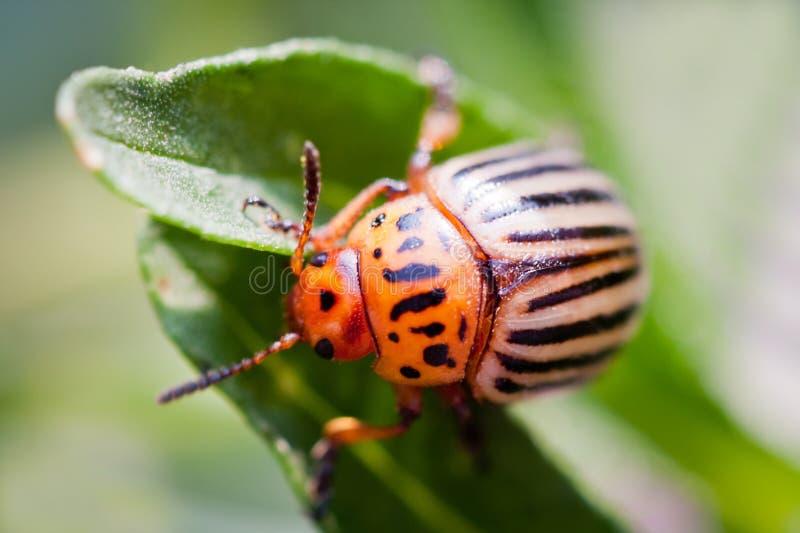 Colorado potato beetle. Bug sitting on a green. Leaf of potatoes. Leptinotarsa decemlineata. macro view stock images