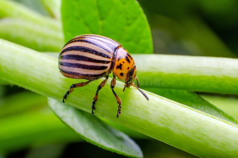 Colorado potato beetle crawling on the branches of potato.  stock images