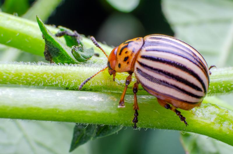 Colorado potato beetle crawling on the branches of potato.  stock image