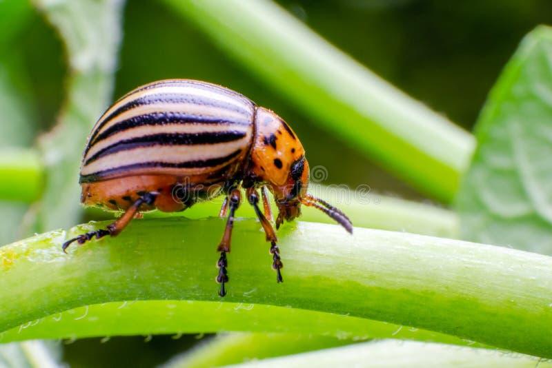 Colorado potato beetle crawling on the branches of potato.  royalty free stock photo