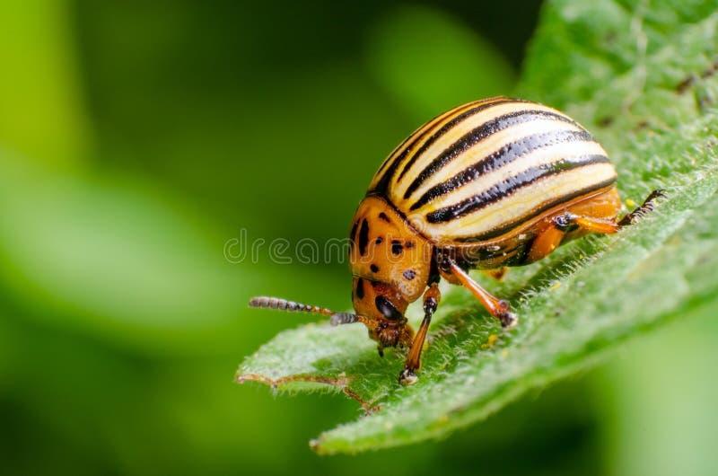 Colorado potato beetle crawling on potato leaves.  stock photos