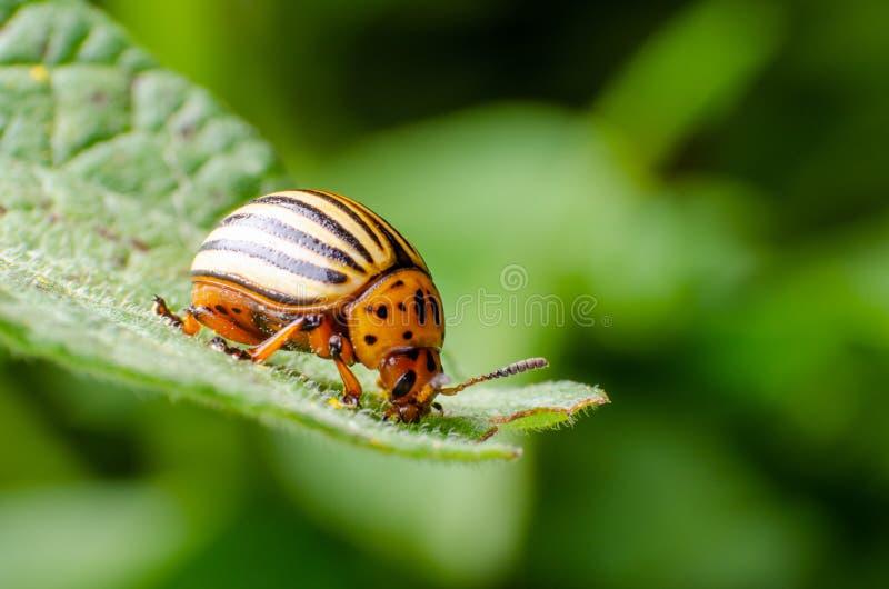 Colorado potato beetle crawling on potato leaves.  stock image