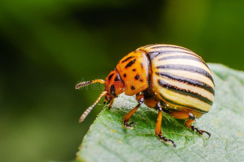 Colorado potato beetle crawling on potato leaves.  stock photography