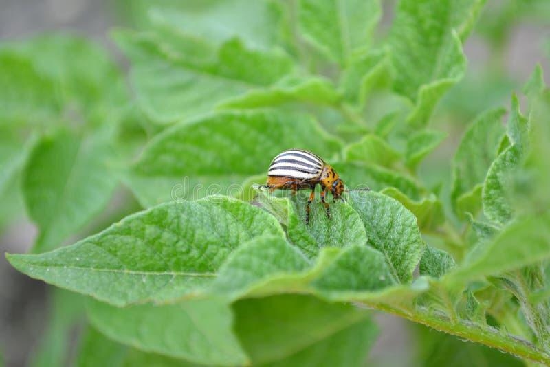 Colorado potato beetle eating green leaves of potato. Leptinotarsa decemlineata royalty free stock image