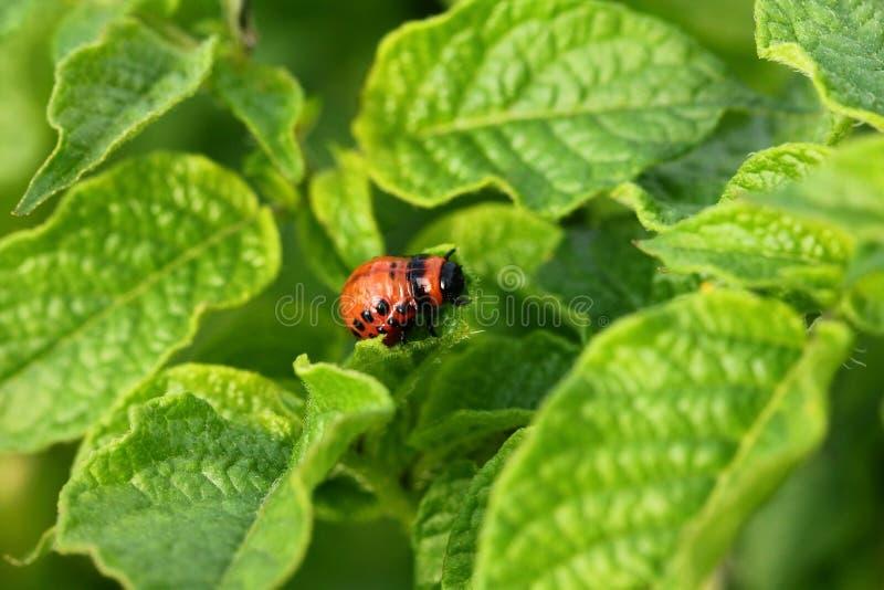 Colorado potato beetle. Eating leaves royalty free stock photos