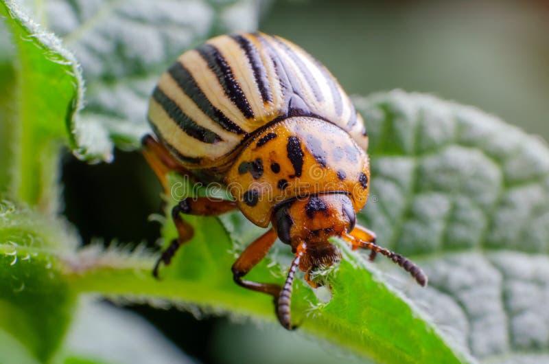 Colorado potato beetle eats green potato leaves.  stock images