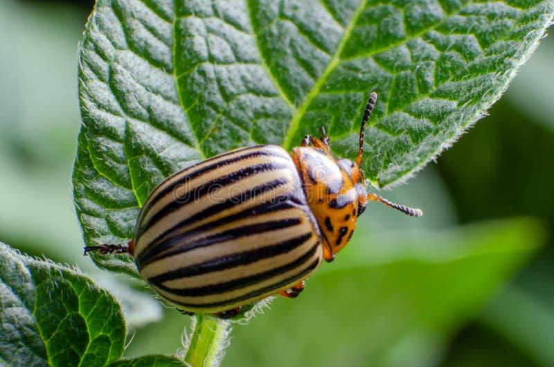 Colorado potato beetle eats green potato leaves.  stock photography