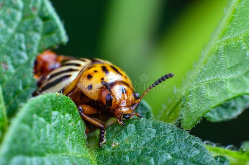 Colorado potato beetle eats green potato leaves.  stock photos